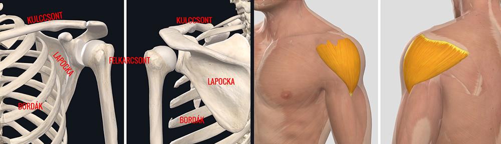 ízületi fájdalom a váll jobb oldalán csípőfájdalom oka az erőfeszítés után