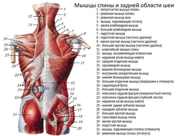 a csípőízületek izmai fájnak)