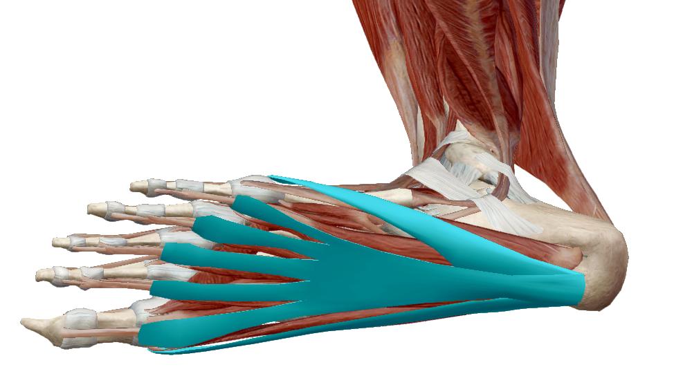 hüvelykujj a kézízületi fájdalom hogyan lehet az ízületeket áfonyaval kezelni