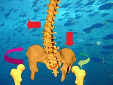 csípőízület és medence torzulása
