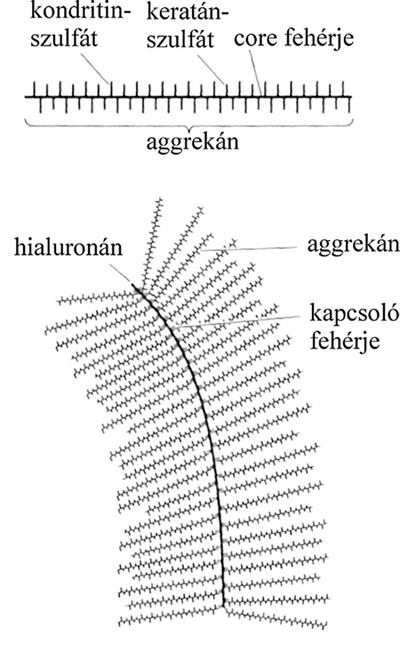 a kötő porc szerkezete)