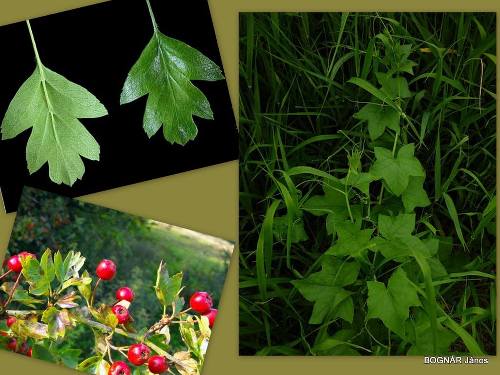 juhar levelek közös kezelés receptje