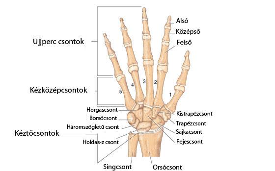 a hüvelykujj csuklóízülete fáj ízületek a mellkas területén
