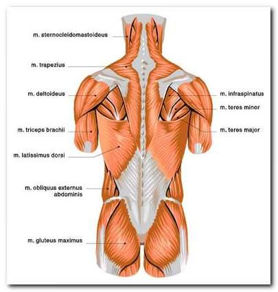 az izom-csontrendszer és a kötőszövet betegségei