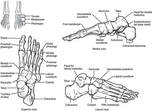 Láb és boka anatómia