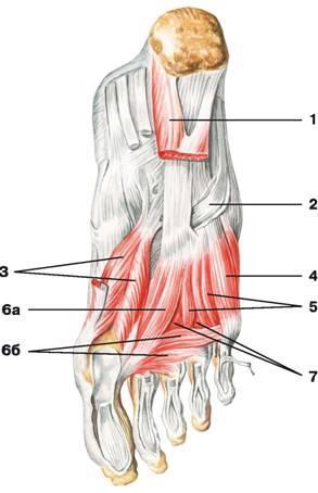 ízületi sérülések sprainokkal és inakkal)